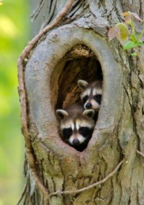 Baby raccoons in a tree hollow