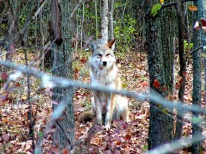 Coyotes Spotted in Hamilton Conservation Areas