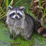 Marsh bandit